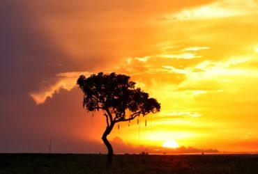 Kigelia africana -Sausage tree-Garamba National ParkDemocratic Republic of CongoSunset in the Garamba National ParkAfrican savanna
